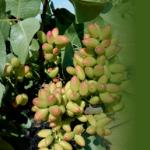 Jornada Técnica El Pistachero como alternativa de cultivo en la comarca del Guadiato